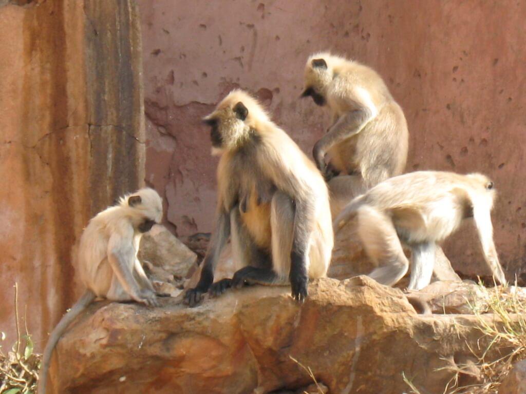Świątynia Małp w Dżajpur